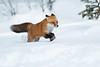 Dashing-through-the-snow (Corey Hayes) Tags: fox winter algonquinpark action running coreyhayes nature