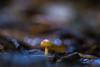 Leica Hektor-P2 2.8/85 (::Lens a Lot::) Tags: depth leica hektorp2 85mm f28 refitted projection lens paris | 2017 mushroom closeup macro bokeh field dof blue