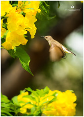 sunbird flight (Surendhar Mudaliar Photography) Tags: sunbird flight bird tamilnadu vellore