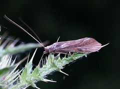 Caddis fly (Unidentified) (SteveInLeighton's Photos) Tags: england unidentified grove trichoptera caddisfly buckinghamshire june 2008 bucks insects