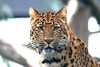 Happy Caturday.:) (law_keven) Tags: leopard cats bigcat bigcats northchineseleopard wildlife