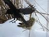 Short-eared owl (jubewakayama) Tags: nature bird birding birdwatching owl shortearedowl crow junglecrow largebilledcrow raptor mobbing コミミズク ハシブトガラス