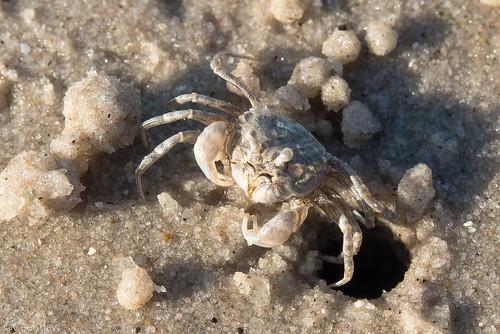 Tiny crab at work