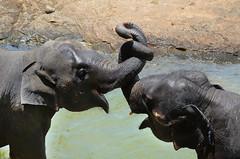 Now playing... (Dunstan Fernando) Tags: elephasmaximusmaximus srilanka srilankanelephants elephantsplaying nature dunstan سريلانكاالفيلة šrilankeslonova elefantsdesrilanka 斯里兰卡斯里兰卡大象 srilankansloni srilankaselefanter srilankaanseolifanten srilankaelevandid srilankanelepante srilankannorsuja éléphantsdesrilankan srilankaelefanten σριλάνκαελέφαντεσ श्रीलंकाईश्रीलंकनहाथियों srílankaielefántok srilankagajah elefantidellosrilanka スリランカスリランカ象 스리랑카일본코끼리 srišrilankasziloņiem šrilankosdramblys srilankisłonie srilankanelefantes шриланкислонов srílankyslony šrilankislonov elefantesdesrilanka srilankantembo ช้างศรีลังกาศรี srilankafiller слонишріланки سریلنکاکےہاتھی srilankavoi ශ්රීලංකාඅලිඇතුන් இலங்கையானைகள் dunstanphotography nikon depthoffield action