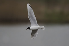 Black-headed x Mediterranean Gull 4cy (3rd summer) (Baractus) Tags: blackheaded x mediterranean gull 4cy 3rd summer hybrid john oates upton warren wildlife trust christopher cadbury reserve worcestershire