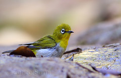 Oriental white-eye (Zahoor-Salmi) Tags: oriental whiteeye zahoorsalmi salmi wildlife pakistan wwf nature natural canon birds watch animals bbc flickr google discovery chanals tv lens camera 7d mark 2 beutty photo macro action walpapers bhalwal punjab