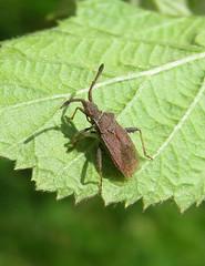 Coriomeris denticulatus - Coryton, Essex 2015b (Steven Falk) Tags: steven falk leatherbug coriomeris denticulatus denticulate