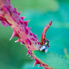 Fly (757artography) Tags: nature colors beauty rose fly photo dof bokeh insects thorns natureshots bokehlicious 100mmf28canon canoneos5dmark3 757artography