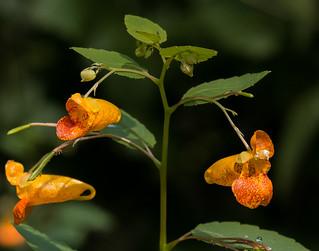 Tiny orange wildflower
