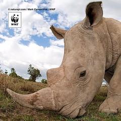 #RhinosLifeSeria #Rhino #RhinosSeria #SouthAfricaRhino #SouthAfricaRhinosSeria #SouthAfricaAnimalsSeria #Africa #BlackAfrica #AfricaSeria #AfricaRhinosSeria #AfricaAnimalsSeria #RhinoDay #RhinoDaySeria #RhinosDaySeria  regram @wwf_australia In seven years (mustafagavsar) Tags: africa rhino blackafrica southafricarhino rhinoday africaseria southafricaanimalsseria rhinoslifeseria rhinosseria africaanimalsseria africarhinosseria pazar2015seria pazarseria southafricarhinosseria rhinodayseria rhinosdayseria eylul2015seria pazareylulseria september20eylul2015 eylul20seria