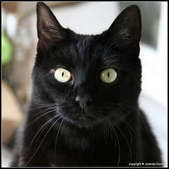Einfach nur geradeaus schauen.....   (oo) (Jolanda Donn) Tags: katze willie juli schwarz schwarzekatze hauskatze raubtier ktzin canoneos350ddigital fleischfresser kurzhaarkatze juli2015 20150727
