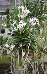 Vanda (Neofinetia) falcata 'Kaioumaru' (cieneguitan) Tags: lan bunga ran orkid fukiran angrek anggerek