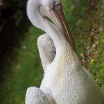 Pelican thumbnail
