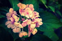 Hortensia (Two_tango) Tags: flower garden hydrangea blüte garten hortensie hortensia macrophylla