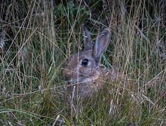 DSC09529.jpg (Mel Jennings) Tags: york rabbit north moors rosedale