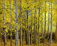 Pikes Peak Goldrush (KM Preston Photography) Tags: trees tree fall forest landscape gold fallcolors fallfoliage foliage rockymountains serene aspen pikespeak mountainridge coloradospringsco img0660 coloursplosion kmprestonphotography