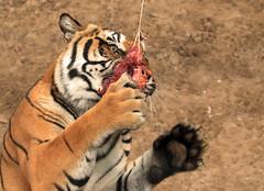 tijger hoenderdaell JN6A7080 (j.a.kok) Tags: tiger tijger bengaltiger pantheratigristigris bengaalsetijger hoenderdaell