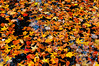 Autumn Leaves Floating in Water (SANYPICTURES) Tags: park orange lake man fall nature water leaves fallcolors maryland made collegepark manmadelake lakeartemesia sawir berwynheights sawiro sanypictures autumnleavesfloatinginwater