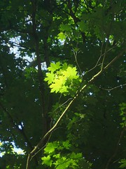 Light through Leaves (Aidan McRae Thomson) Tags: gardens warwickshire countrypark coombeabbey