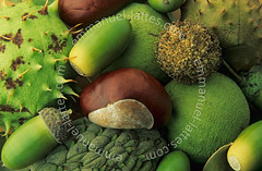 Composition de fruits d'arbres d'ornement. (Emmanuel LATTES) Tags: life horse stilllife plant france tree green nature fruit composition plane still oak seed vert acorn morte magnolia chestnut ornamental marron husk arbre horsechestnut dinde naturemorte planetree platane marronnier gland graine magniolia bogue chne marrondinde vgtal akne ornamentaltree cher18 arbredornement akene dornement