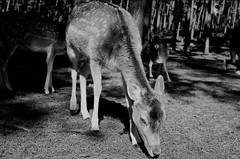 Bambi (Nilfisk) Tags: bambi tierpark reh rehe reken