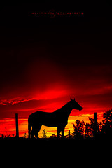 Under a Blood Red Sky (seanajsimmons) Tags: sunset red horses horse color colour animal silhouette fence farm alberta barbedwire