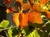 Αιγιο Ελλαδα P1140773 (omirou56) Tags: autumn macro nature beautiful leaves natur greece 43 peloponnese peloponnisos peloponisos ελλαδα φυση χρωματα αχαια ηλιοσ πελοποννησοσ αιγιο φθινοπωρο φυλλα ημερα panasoniclumixdmctz40