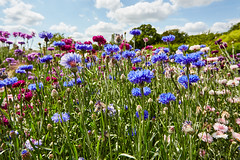 remembering summer on this grey november day  :) (hedphoto) Tags: flowers summer england english garden lincolnshire wildflower easton walledgarden cornflowers