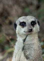 Marwell Meerkat (theachalke) Tags: animal canon zoo meerkat marwell 450d