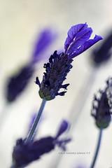 Lavandula (cruzjimnezgmez) Tags: campo silvestre naturaleza malva cantueso lavandula petalos flores flor