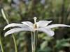 Milla biflora Cav., 1793 (carlos mancilla) Tags: flores flowers olympussp570uz millabifloracav1793 millabiflora flordesanjuan estrellita mexicanstar asparagaceae
