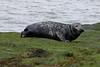 Grey Seal Cow (Roy Lowry) Tags: halichoerusgrypus hilbreisland greyseal