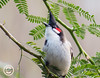 Red-whiskered Bulbul (mshubhajyoti) Tags: small bird wildlife fantastic bulbul wow redwhiskered crimson himalayan birdsiitk