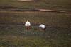 IMG_3654 (FelipeDiazCelery) Tags: sanpedro sanpedroatacama sanpedrodeatacama desierto altiplano atacama andes chile fauna aves valledelaluna