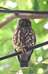 Brown Hawk-Owl (olyaterekhova) Tags: singapore bukit timah park brown hawkowl nature birds
