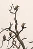 tree of vultures (thomas.reissnecker) Tags: chobe ngc travel tree safari botswana africa vulture