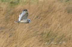 Old favourite. (nondesigner59) Tags: shortearedowl flight hunting predator nature wildlife archives copyrightmmee eos7dmkii nondesigner nd59
