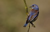 Western Blue Bird (male) (andrewj1882) Tags: western bluebird sialia mexicana
