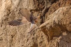 Common Kestrel (keynowski) Tags: commonkestrel kerkenez falcotinnunculus nature ngc animalplanet animal bird birdofprey canon70d canonef400mmf56lusm