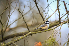 Black-capped Chickadee (Ed Balaun (supergolfdude)) Tags: birdfeeder birds nature ohio wild wildlife chickadee