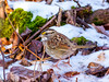 White-throated Sparrow, white brow variant (johnny4eyes1) Tags: birds whitethroated belmontlakestatepark winter sparrow nature