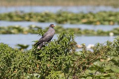 Florida Snail Kite (arthurpolly) Tags: avian avianexcellence anawesomeshot abigfave beautiful betterthangood bird canon 100400is 100400l eos 7dmk2 elements13 exotic flickrdiamond lakes nature natureselegantshots naturesfinest nationpark platinumphoto photoshop florida floridasnailkite unforgettablepictures usa wildlife wild