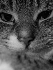 Little Lion (Pilar Palomo) Tags: cat gato kitty blackwhite blanco black blancoynegro white negro portrait retrato macro macrophotograph macrophotography blackandwhite eyes pentaxart