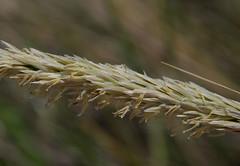 Ammophila arenaria ssp arenaria, South City Beach, Perth, WA, 04/10/16 (Russell Cumming) Tags: plant weed ammophila ammophilaarenaria ammophilaarenariaarenaria poaceae southcitybeach perth westernaustralia
