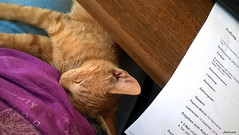 Office hours 2016 Summer (jeanette.horvath //Jeanne//) Tags: cat cats kitty kitten animal animals pet petc office workplace lovely büro