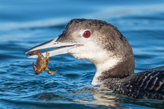 Common Loon with crab (X6C_0785-1) (Eric SF) Tags: commonloon loon shorebird crab bodegabay california portrait