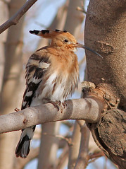 Abubilla / Upupa epops / Hoopoe (vic_206) Tags: abubilla upupaepops hoopoe deltadelllobregat bird canoneos7d canon300f4liscanon14xii wow