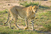 DSC00350-Edit (mduckitt) Tags: cheetah endangered cat bigcat safari
