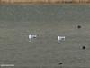 Caspian Gull (Larus cachinnans) (gilgit2) Tags: avifauna birds borit canon canoneos7dmarkii caspiangulllaruscachinnans category fauna feathers geotagged gilgitbaltistan gojal imranshah location pakistan species tags tamron tamronsp150600mmf563divcusd wildlife wings gilgit2 laruscachinnans