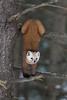 Pine Marten Yoga (Megan Lorenz) Tags: pinemarten marten weasel americanmarten animal mammal nature wild wildlife wildanimals algonquinprovincialpark ontario canada mlorenz meganlorenz